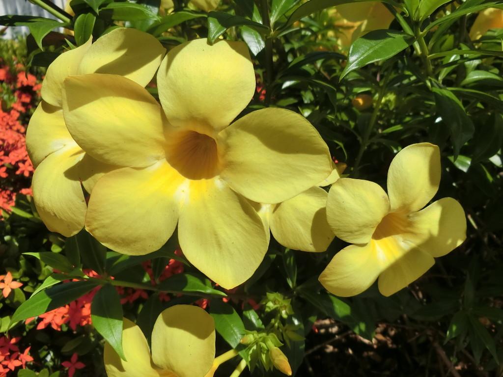 オーストラリアの花